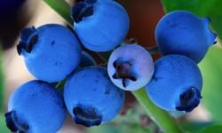 Чорниця ягоди властивості
